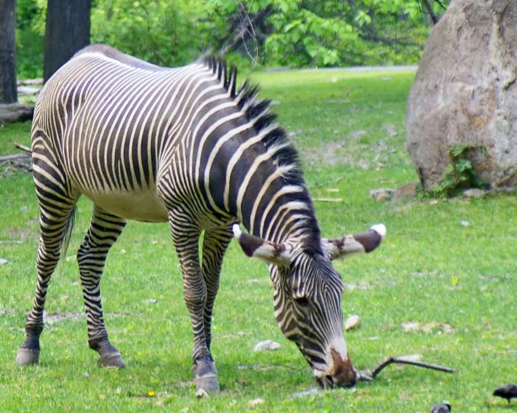 זברה בגן החיות בברונקס