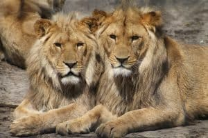 lions-1660044_960_720